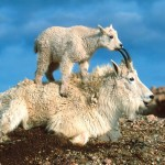 baby-mountain-goat-kid-with-parent[1]